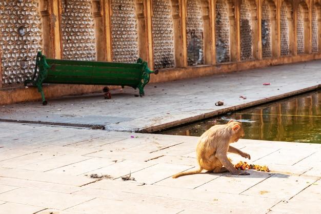 Monkey in galta ji temple, india, jaipur.