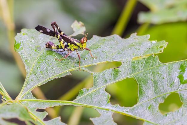 Monkey- grasshopper in the habitat