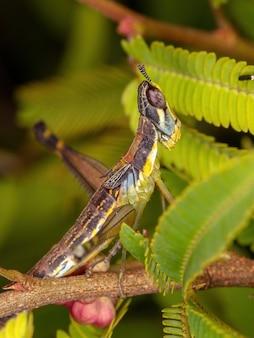 Monkey grasshopper nymph of the family eumastacidae