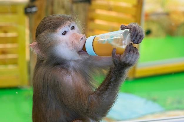 Обезьяна, детеныш гамадрила пьет из детской бутылочки. животное.