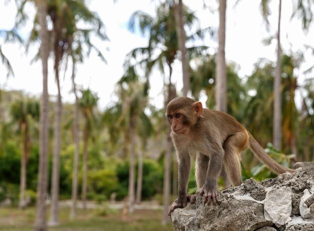 Обезьяна в своей естественной среде обитания, тропических лесах и джунглях, сидит на скале и смотрит вдаль.