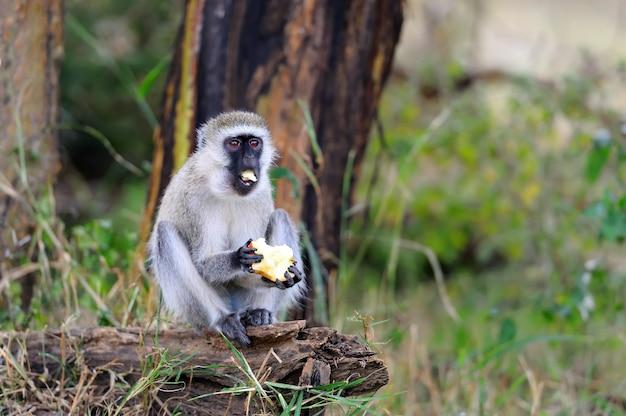 Обезьяна в национальном парке кении