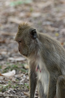 Monkey is a mammal sitting on the ground in thai forest nature