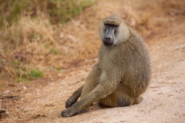 Обезьяна сидит на дороге, бабуин, на сафари в кении