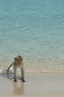 Monkey island, thailand the monkeys are on the beach by the sea.