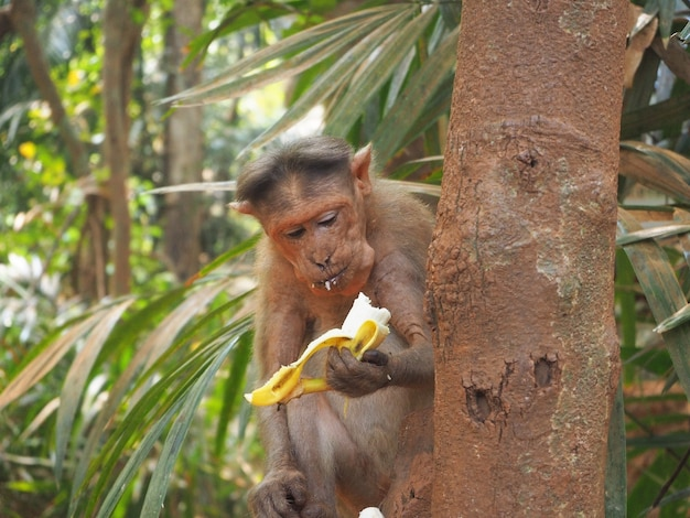 A monkey in the jungle is sitting on a tree and eating a banana