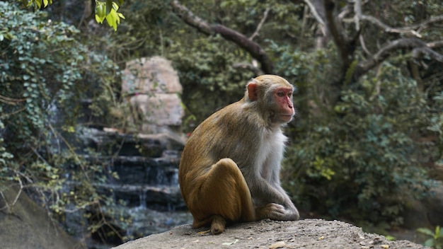 Monkey. monkey macaque in the rain forest. monkeys in the natural environment. china, hainan