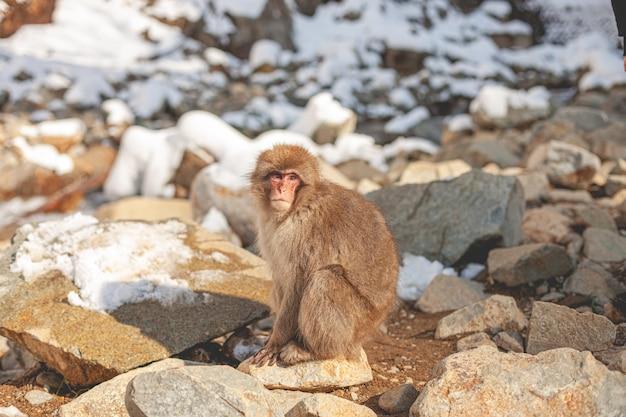 Scimmia nella natura