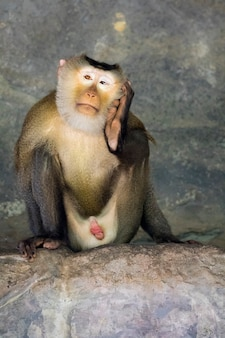 Monkey (pig-tailed macaque). wild animals.