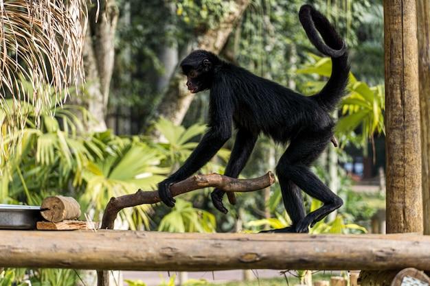 Обезьяна играет, ест и гуляет в биопарке в бразилии.