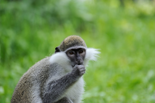Портрет обезьяны на зеленом фоне