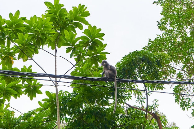 The monkey runs along the wires of the power line. monkeys in asia.