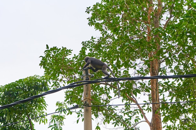 The monkey runs along the wires of the power line. monkeys in asia