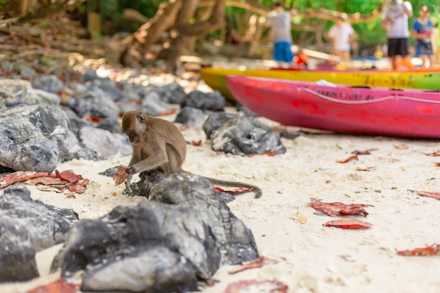 Monkey on the sandy beach of a tropical island in search of food goes through the sand,