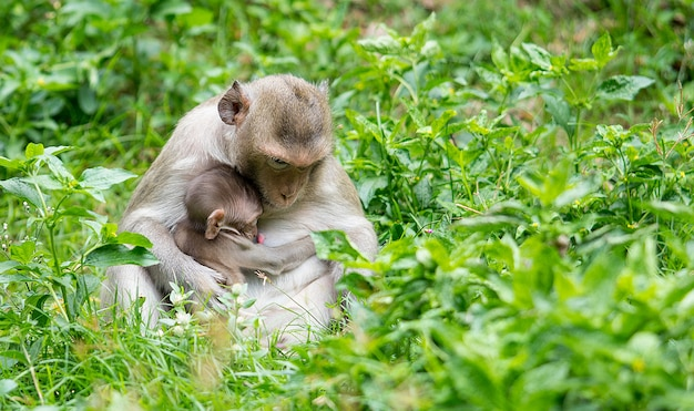 The monkey sits to feed his baby from the breast in the wild grass
