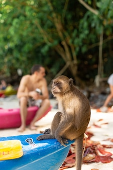 The monkey sits on the tip of the canoe waiting for food from tourists. monkey beach on tropical island.