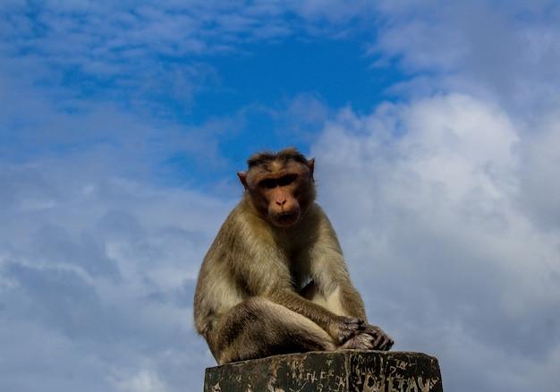 백그라운드에서 푸른 하늘이 콘크리트 장벽에 앉아 원숭이