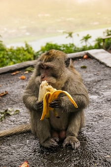 道路に座っている猿とバナナを食べる。猿は通りで食べています。