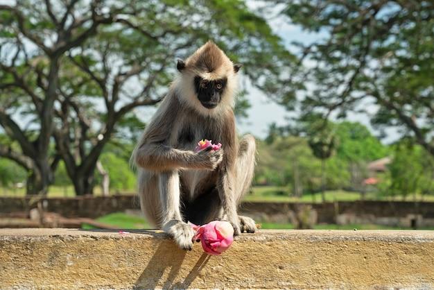 蓮の花と座っている猿、アヌラーダプラ