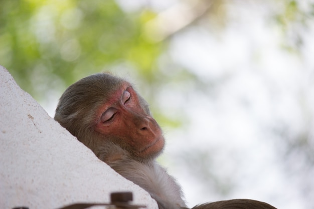 Monkey sleeping under the tree