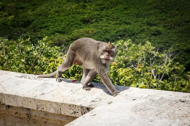 Monkey on a stone parapet. green nature.