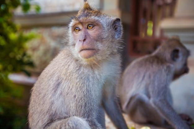 モンキー。熱帯の動物。エキゾチックな旅行観光。赤道の残りの部分。バリ島インドネシア