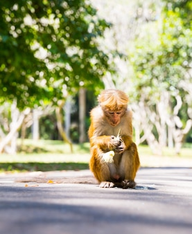 Monkey in  tropical fauna on ceylon, young macaque. widlife scene, asia