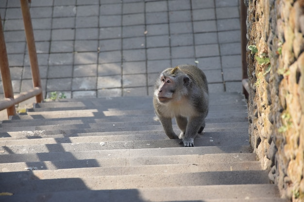Monkey walk on the stairs. monkey forest, bali, indonesia