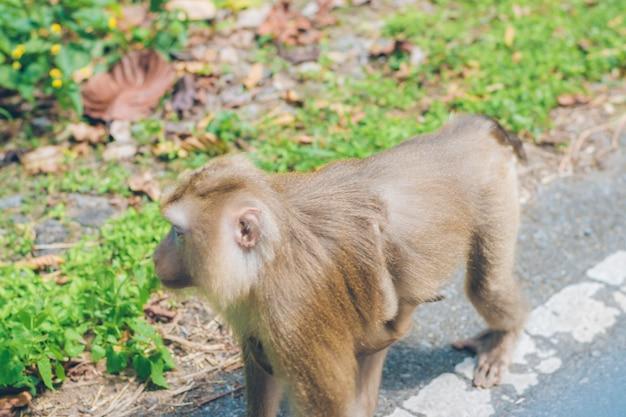 A monkey walking on the grass by the roadside