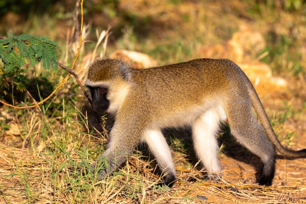 A monkey walks between the grass on the ground