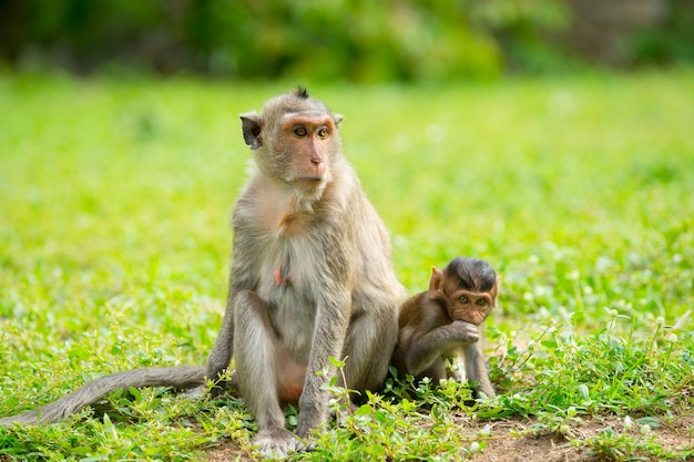 Monkey with its baby sitting on grass