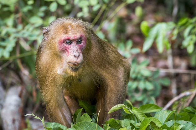 Monkey with red face in forest