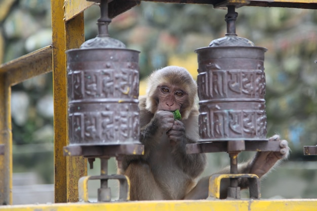 Обезьяна с едой, держащая ногу на молитвенном колесе в сваямбунатхе, катманду