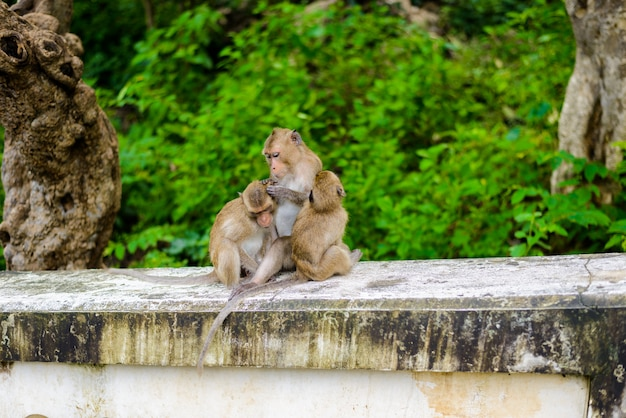 Monkeys (crab eating macaque) grooming one another.