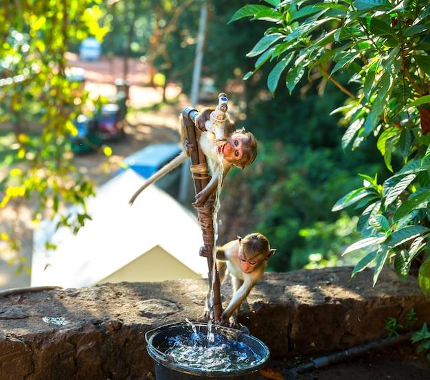 サルは、セイロンの古い仏寺院の噴水から水を飲みます。野生動物シーン、アジアのサル。シュリランカでの食品泥棒