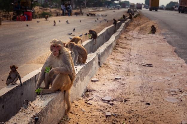 ニューデリーとインドのジャイプールの間の道路にいるサル。