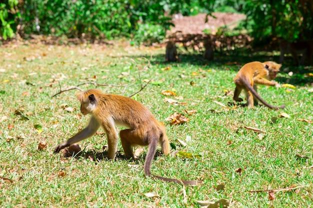 Monkeys looking for food in tropical fauna on ceylon. macaques on sri lanka. widlife scene, asia