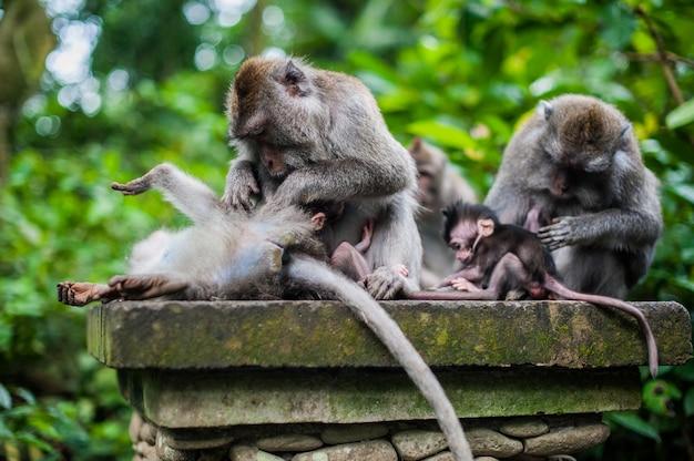 Monkeys in the monkey forest, bali