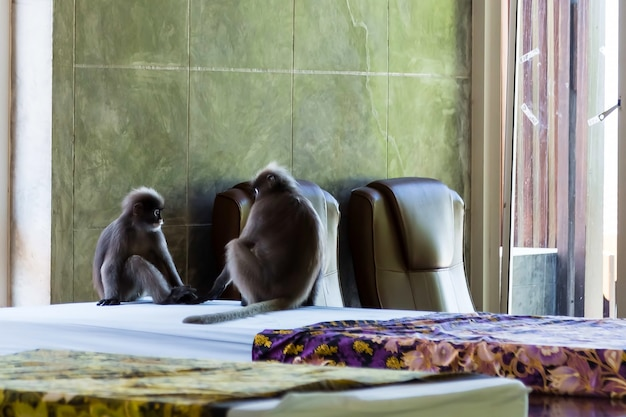 Monkeys relaxing on the mattress for spa and massage two gray langurs sitting on the room