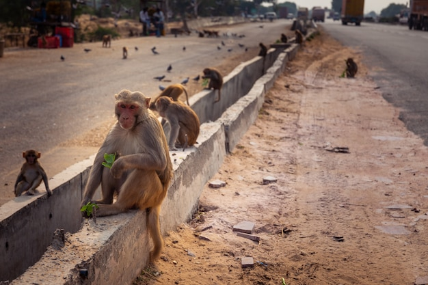 Monkeys in the road between new delhi and jaipur, india.