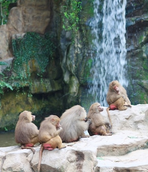 Monkeys on a rock