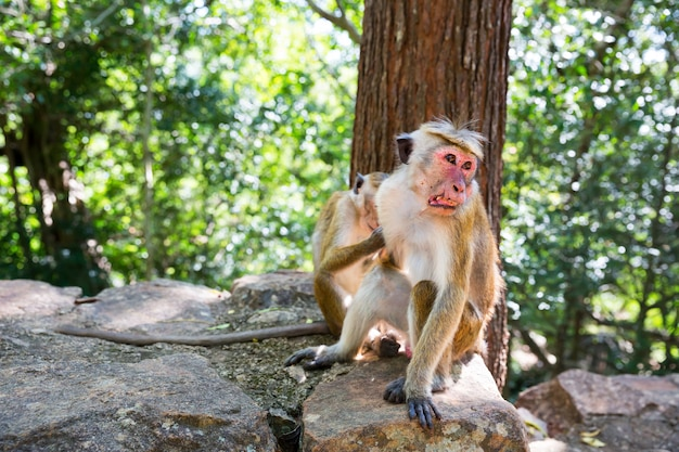 Monkeys sitting on the stone in old buddha temple on ceylon. macaques in widlife scene, asia. fruit thieves on shri lanka