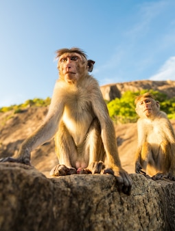 Monkeys on sri lanka, food thieves on ceylon. macaques in widlife scene, asia