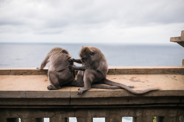 Monkeys at the temple of uluwatu on the island of bali, indonesia