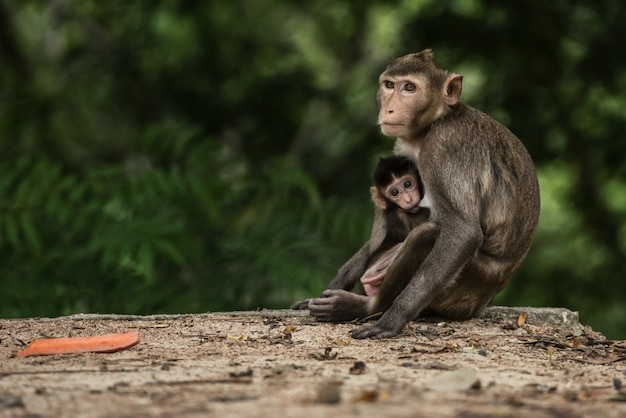 Monky mom with baby at forest thailand