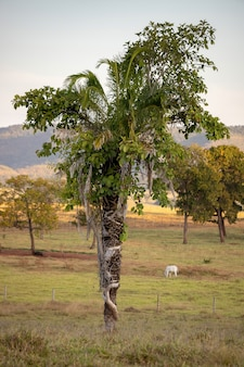 Monocotyledonous tree being covered by a dicotyledonous tree