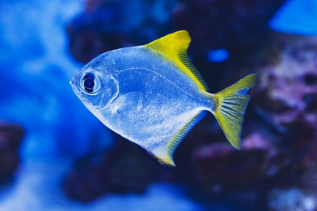 Monodactylidae is a family of perciform bony fish commonly referred to as monos, moonyfishes or fingerfishes.