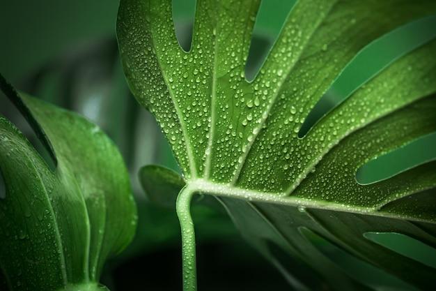 Foglie di mostro su uno sfondo verde