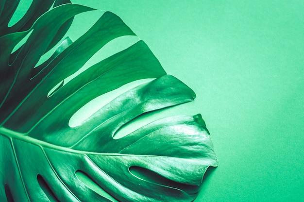 Листья монстра на зеленом фоне