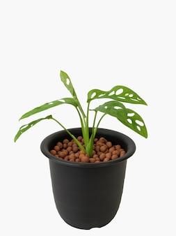 モンステラadansoniiエキゾチックな緑の葉、白い背景に分離された黒い花の鉢植え、クリッピングパス、スイスのチーズ植物はインテリアに人気があります
